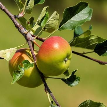 Kurs i fruktträdsbeskärning